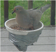 Pigeon in bowl